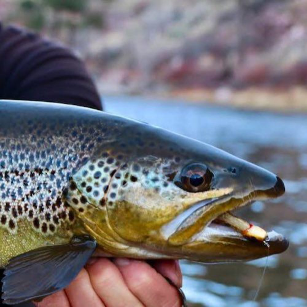 Pinhead Brown Trout Catch